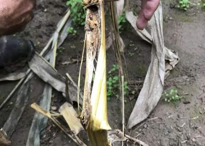 Southwestern Corn Bore in stalk